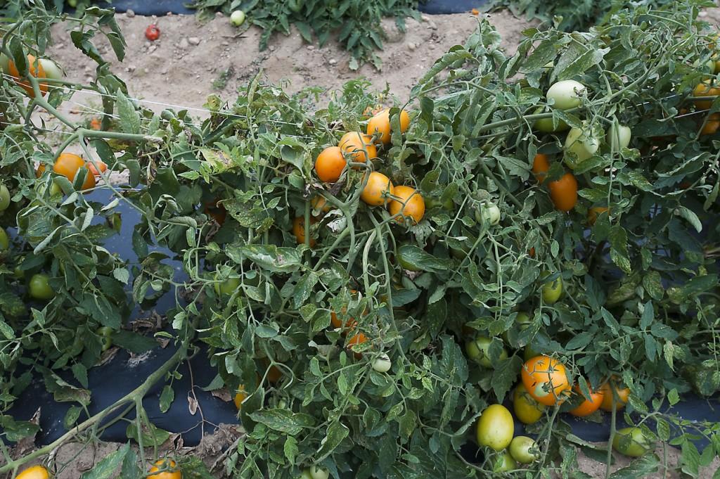 tomatoes_vine